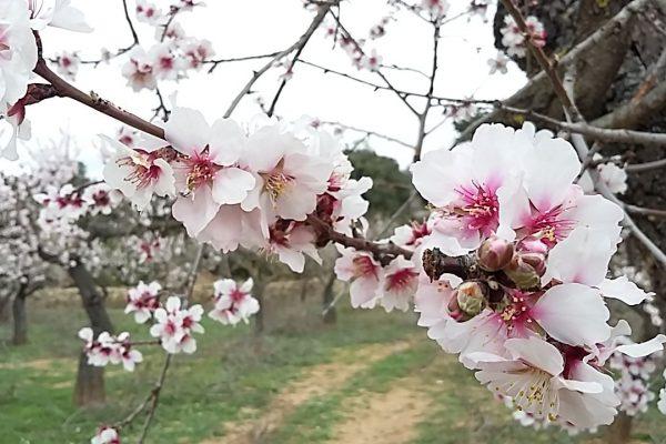 flor de almendro zoom