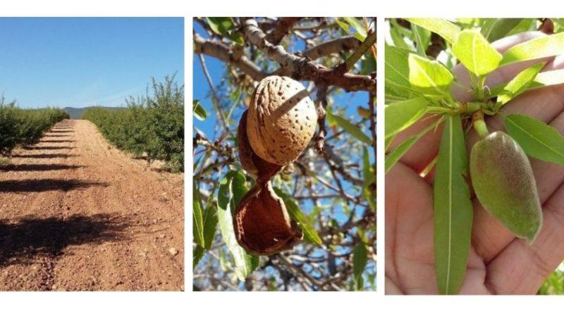 Desarrollo fruto almendro