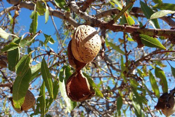 Del árbol A La Fábrica La Recolección De La Almendra Itac